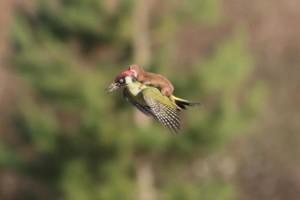В Лондоне фотограф снял ласку, летящую верхом на дятле