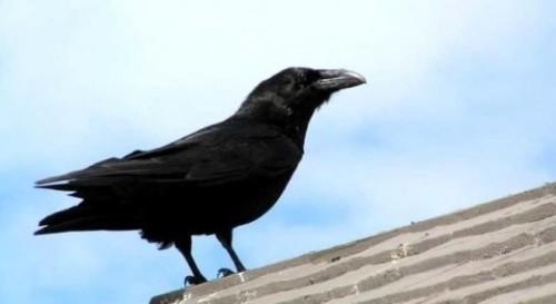 Ученые выяснили, что вороны умеют считать, хотя не должны