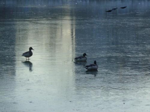Тюменские утки не хотят улетать с обледеневшего пруда «Южный»