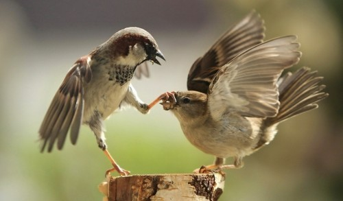 Птицы предпочитают любовь доступу к пище, выяснили ученые