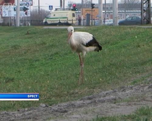 Аист поселился в одном из микрорайонов Бреста: переселить птицу за город пытались – возвращается