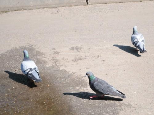 Ученые выяснили, почему у голубей лысые лапы