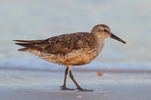 Изменение климата «уменьшает» арктических птиц