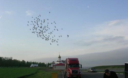 В Тюменской области прошли соревнования голубей