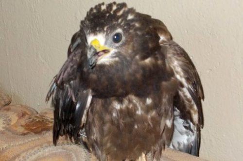 В Череповце спасатели выручали молодого сокола, заклеванного воронами