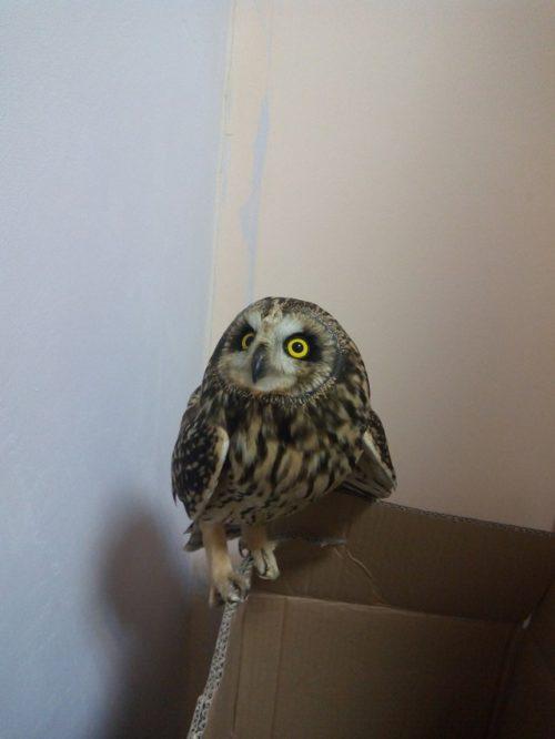В Тамбове волонтеры приюта «Доброе сердце» спасли искалеченную сову