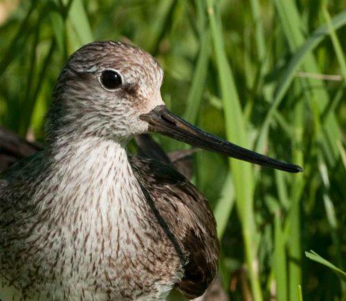 Летом тюменские орнитологи окольцуют перелетных птиц