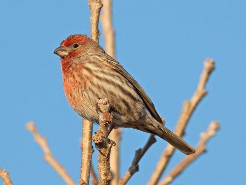 Ученые выяснили, зачем птицы приносят окурки в гнезда