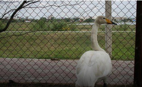 Омич спас краснокнижного лебедя от стаи бродячих собак