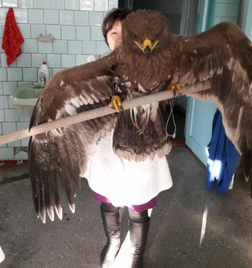 В Таштаголе нашли редкого степного орла