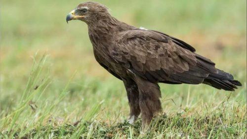 Жительница Брянска спасла раненого орла исчезающего вида