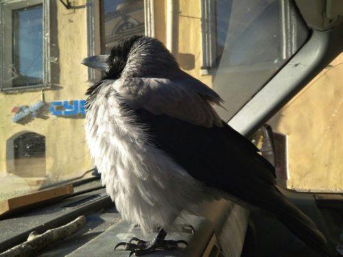 В Петербурге второй раз потерялась ворона, живущая в автомобиле