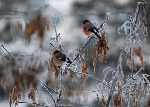 В столицу прилетели снегири, они проведут в городе зиму. Птицы поселились на городских природных территориях. Об этом рассказал Валентин Волков, специалист Государственного природоохранного бюджетного учреждения «Мосприрода».  Они могут расположиться на территориях жилой застройки, но все-таки более удобным местом зимовки являются ООПТ. По его словам, пока что птицы не так заметны, поскольку на некоторых деревьях еще есть листва.  Между тем, почти все перелетные птицы уже покинули Москву. Исключение составляют лишь особи, решившие провести холодное время года здесь. К примеру, из мегаполиса улетают не все малиновки. Подробнее: http://vm.ru/news/430225.html
