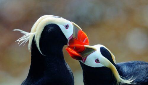 Ирландская птица-топорок плохо размножается из-за утомительных перелетов