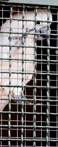 Какаду-безбилетник приплыл лайнером из Австралии в Новую Зеландию