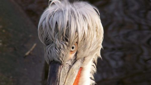 В Московском зоопарке родился птенец кудрявого пеликана