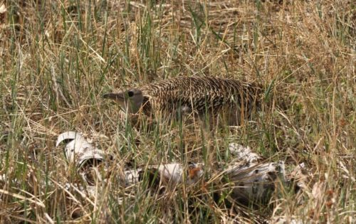 Испанец отыскал в Бурятии гнездо редкой птицы