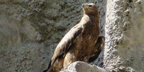 Степного орла в Московском зоопарке назвали в честь Игоря Акинфеева