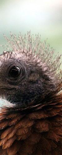 Птенцы фазана аргуса появились на свет в Московском зоопарке