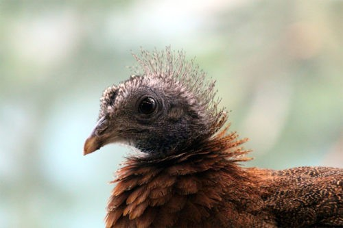 птенец фазана аргуса