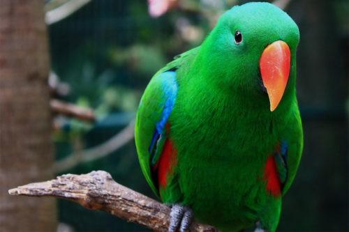 благородный зелено-красный попугай
