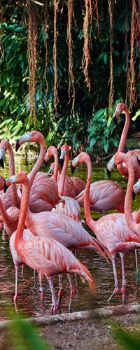 Поведение фламинго зависит от цвета оперения
