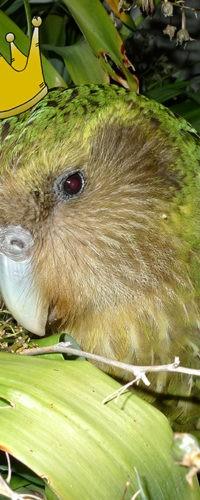 Какапо выбран птицей года в Новой Зеландии