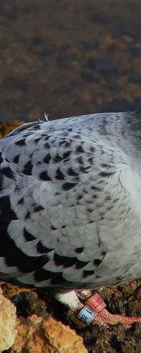 Почтовый голубь продан на аукционе за €1,6 млн