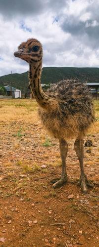 Фото недели: страусенок на ферме в ЮАР