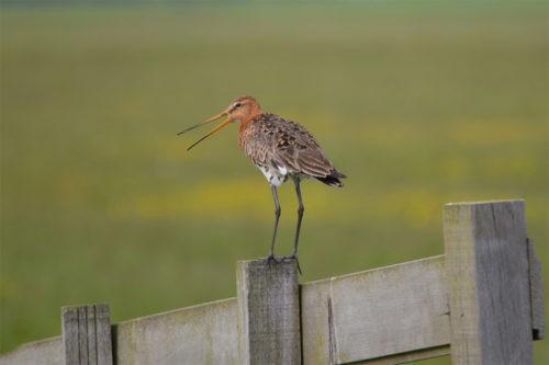малый веретенник на заборе