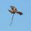 Фото недели: Желтоклювый коршун с добычей