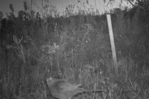желтобрюхий попугай в объективе фотоловушки в Западной Австралии
