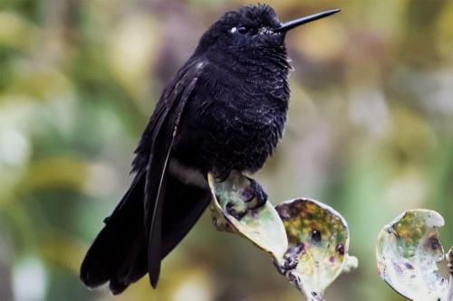 черная металлура из семейства колибри
