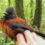 Дроздовая мухоловка: ядовитый житель Новый Гвинеи