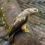 В Москве обнаружили серую утку и осоеда
