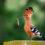 Удод: Красивая птица с плохой репутацией