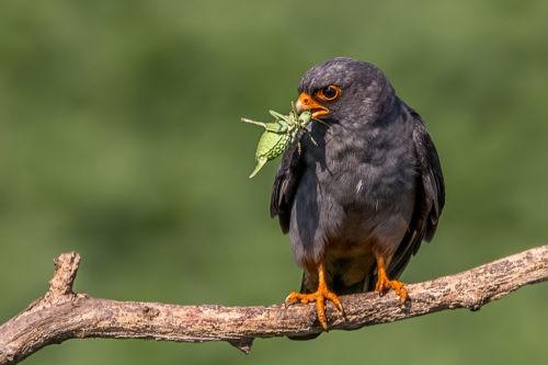 Самец кобчика, самая маленькая птица в семействе соколиных.