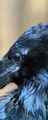 Молодые вороны отличаются умом и сообразительностью
