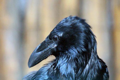 молодой ворон (corvus corax)