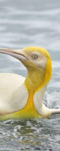 В Атлантике замечен необычный ярко-желтый пингвин