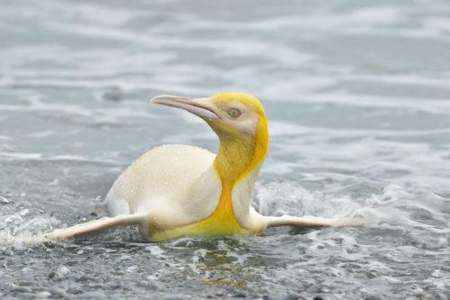 бело-желтый королевский пингвин