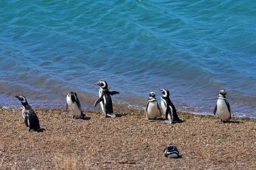 пингвины Гумбольдта на пляже в Аргентине
