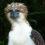 Филиппинская гарпия – гордый орел с роскошной гривой