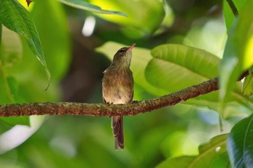 Сейшельская камышевка (Acrocephalus sechellensis) на ветке