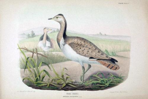 Иллюстрации из Iconografia dell'avifauna italica 1879