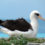 У старейшей в мире самки альбатроса вылупился птенец