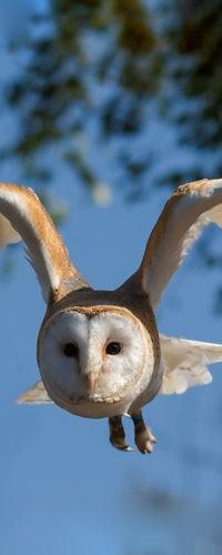 Сипуха: Асимметричные уши для идеального слуха
