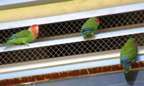неразлучники на вентиляционной решетке в городе Финикс, США