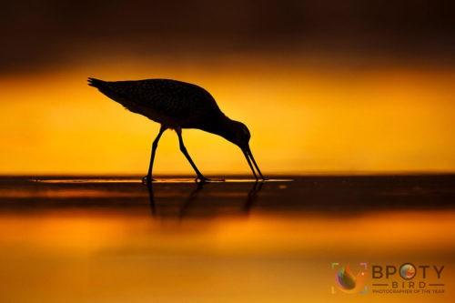 Фотографии финалистов конкурса Bird Photographer of the Year 2021