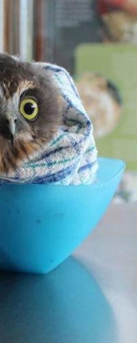 Спасенных сов заворачивают в одеяла